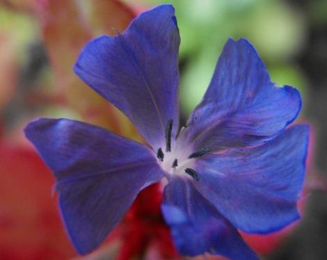 cerato-flower-essence