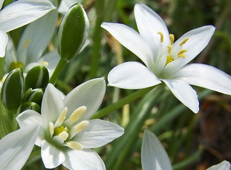 star-of-bethlehem-flower-essence